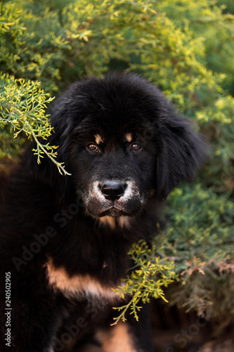 amaizing Tibetan mastiff dog sit in the sunny park in bush