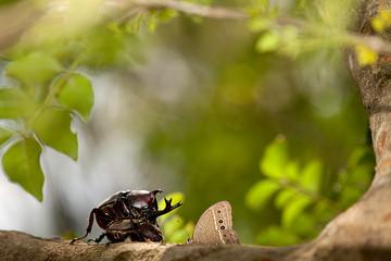 Closeup Rhinoceros beetle, Rhino beetle, Hercules beetle, Unicorn beetle