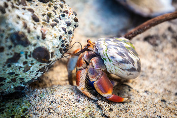 Hermit Crab in seashell crawling on the shore