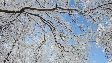 Tree tops covered with snow against a blue sky on a sunny day.