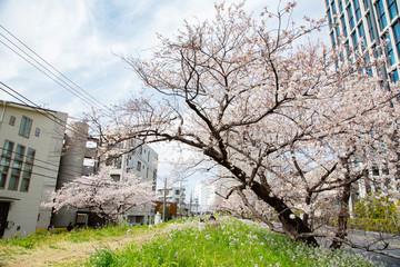 Cherry blossoms in Futakotamagawa town