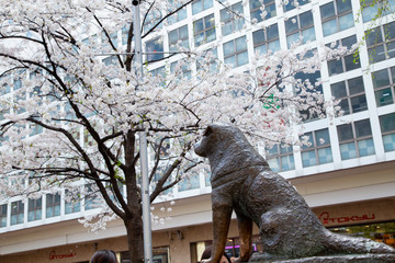 The statue and cherry blossoms in front of Shibuya station