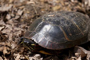 Painted Turtle Portrait
