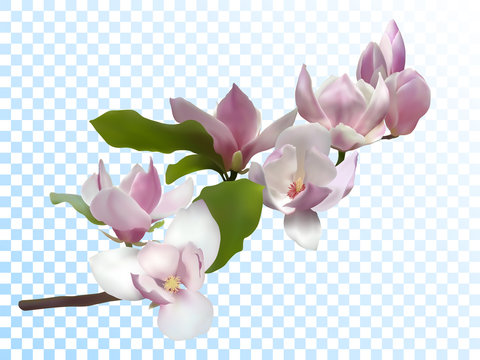Magnolia branch isolated spring flower tree bloom
