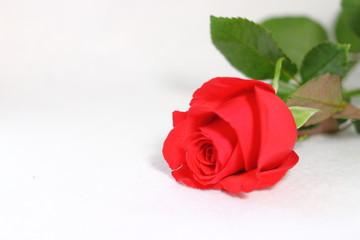 1本の薔薇の花(白背景)