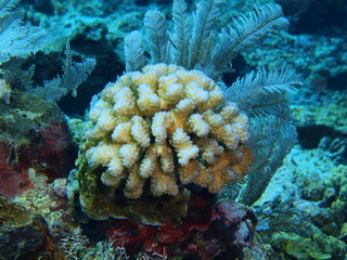Stone coral