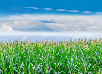 The soft focus surface texture of corn plantation field with the blue sky cloud, Thailand fuji mountain background.
