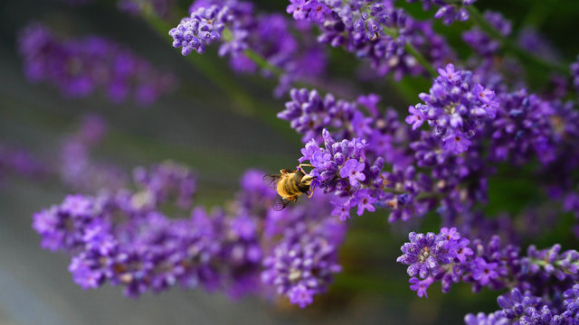 Hard-working bee in Lavender farm, New Zealand