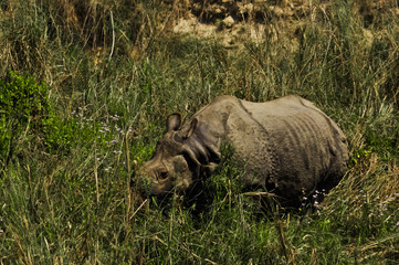 Indian rhino hides in the grass.