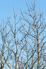 Bare branches of walnut with blue sky in autumn background.