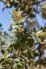 Leaves of laurel tree in the sunlight. Toledo, Spain.