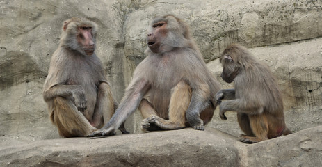 Hamadryas baboons. Three baboons sit on a rock and communicate. Wildlife. Wild animals.