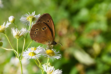 Common ringlet butterfly (Aphantopus hyperantus) on chamomile flower. Big dotted butterfly on wildflower