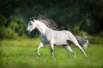 Wall Mural - White Andalusian horse runs gallop in summerfield. Pura Raza Espanola