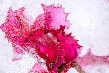 Alpenveilchen in kristallklarem Eis 3