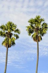 Background of two high palm trees  in blue sky and clouds