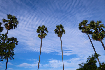 Beautiful palm trees in blue sky and white clouds in summer season.