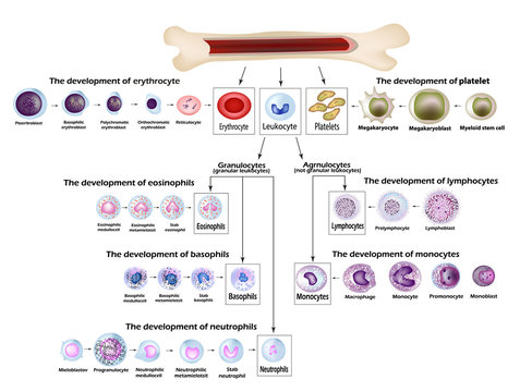 Blood cells Erythrocyte development, red blood cells, leukocytes, eosinophils, lymphocytes, neutrophils, basophils, monocytes, Platelet formation. Infographics. Vector illustration
