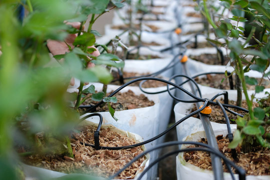 drip water irrigation system with rose plant growing in greenhouse