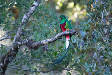 Resplendent Quetzal, Pharomachrus mocinno, from Savegre in Costa Rica with blurred green forest in background. Magnificent sacred green and red bird