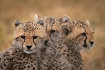 Three cheetah cubs huddle together in rain Wall mural