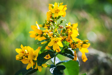 Wall Mural - Yellow flowers of Hypericum, close-up photo