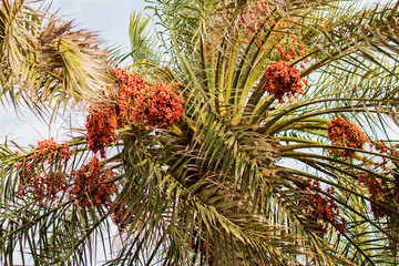 Crown of date palm with fruits against the sky