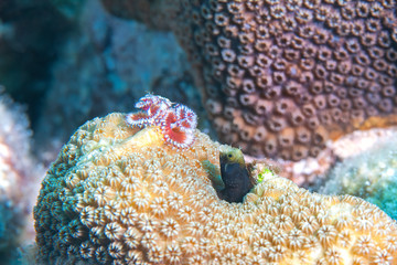 Christmas Tree Worm and Spinyhead Blenny, Reefs of Bonaire