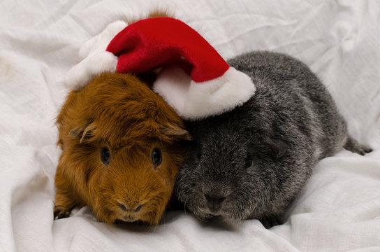 Meerschweinchen an Weihnachten (silber-agouti Rex, Kurzhaarperuaner rot)