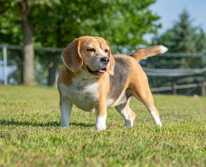 Beagle dog poses on grass lawn