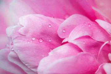 pink flower peony macro