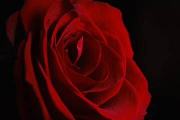 Petals of a beautiful red rose close-up. Natural, natural background.