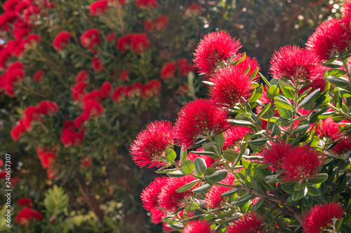 Crimson Pohutukawa Tree Flowers In Bloom New Zealand Christmas