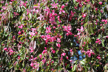 Malus purpurea f. pendula. Branches with pink flowers and leaves
