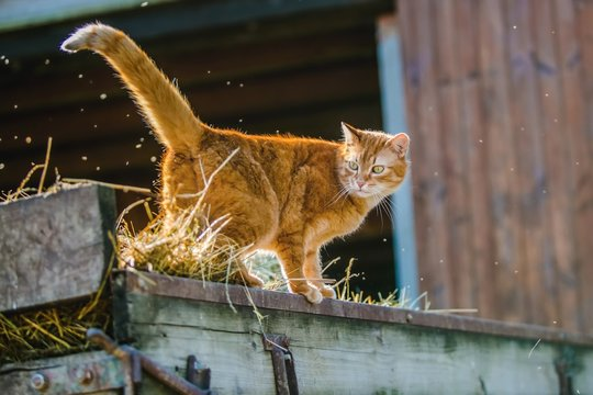 Orange striped cat with yellow eyes standing on wooden carriage with straw, bright sunny spring day, farm animal, barn with open gate in background, flies in the air