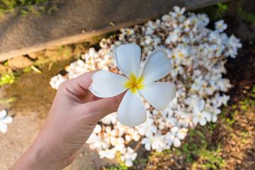one plumeria flower on hand in Bali