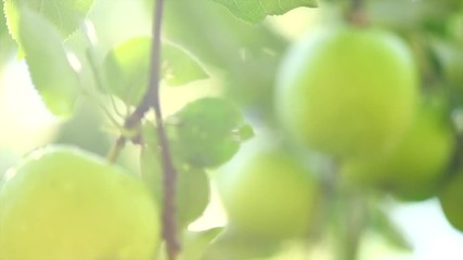 Fotoväggar - Apple tree. Organic apples hanging on branch in a garden. Growing green apples closeup. Slow motion 4K UHD video 3840x2160