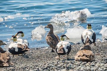 Beautiful Icelandic bird called common eider ducks breeding in Iceland, Glacier Lagoon, summer time