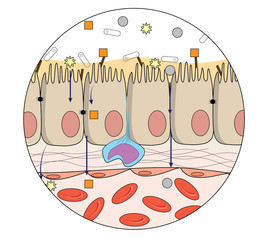 Human gut anatomy showing organization at cellular and molecular level mechanism. Colon and villi interaction with bacteria in the human gut. Healthcare and disease illustration. Science art.