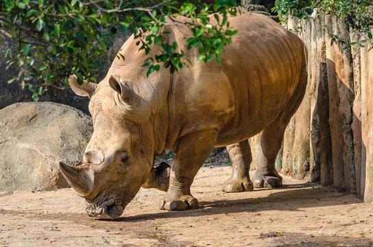 rhinoceros in zoo