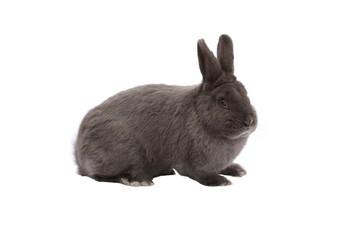 Purebred Vienna glaucous-blue rabbit on white background