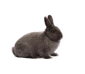 Purebred Vienna glaucous-blue rabbit on white cloth