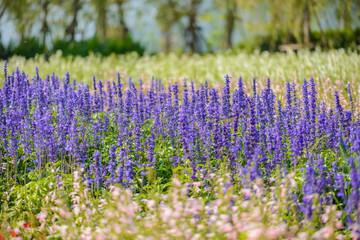 colorful flowers salvia flowers, purple lavender spur flowers garden