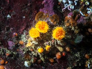 Orange Cup Coral (Balanophyllia elegans)