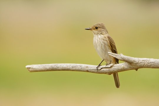 Spotted Flycatcher / Muscicapa striata