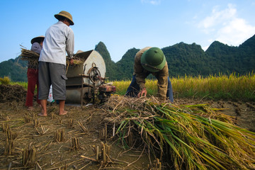 Cao Bang, Vietnam 10-2018: Harvest season. Group of farmers harvesting ripe rice by hand, sickle, machine on yellow rice field. Farmer work reaping the ripe rice by sickle. Rural scenery ripe paddy
