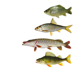 Different types of river fish on light. Carp, roach, pike, perch. Isolated on white