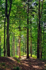 Beautiful green forest landscape. Trees in the forest lit by the sun in a summer scenery.