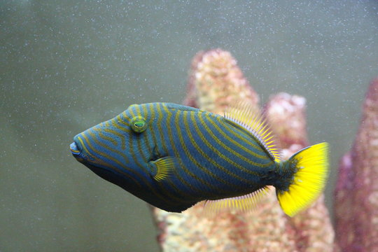 View on Orangelined Triggerfish (Balistapus undulatus). It is widely distributed throughout the tropical and subtropical waters of the Indian Ocean and the western Pacific.