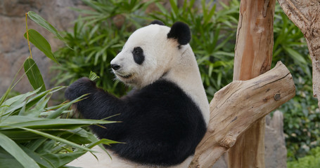 Fototapete - Panda eat bamboo